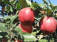 红王将苹果