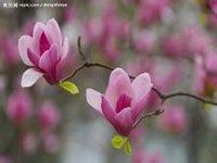 紫玉兰原创 - chunlait - 欢迎光临我博客的朋友们