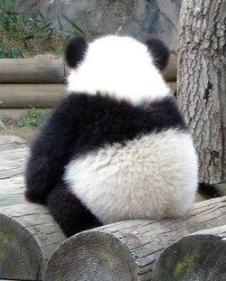 天才小熊猫高清图片