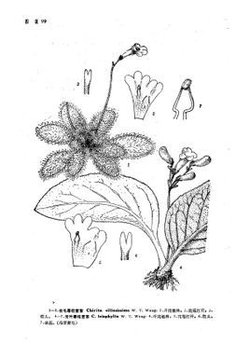 大齿唇柱苣苔chirita juliae