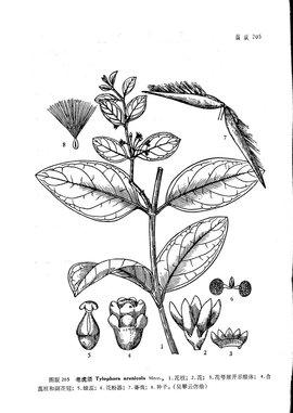 扁桃植物手绘平面图
