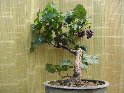 (1)窖藏或室内贮藏:盆栽葡萄最好放在地下菜窖里