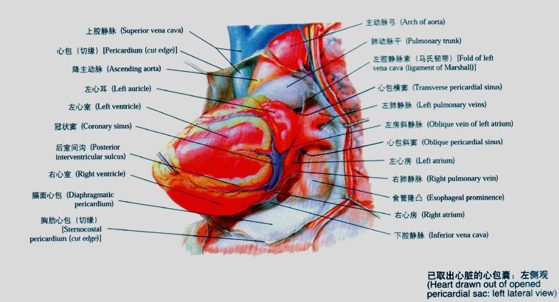 折叠 慢性心包炎 1.病程大于三个月者称慢性心包炎