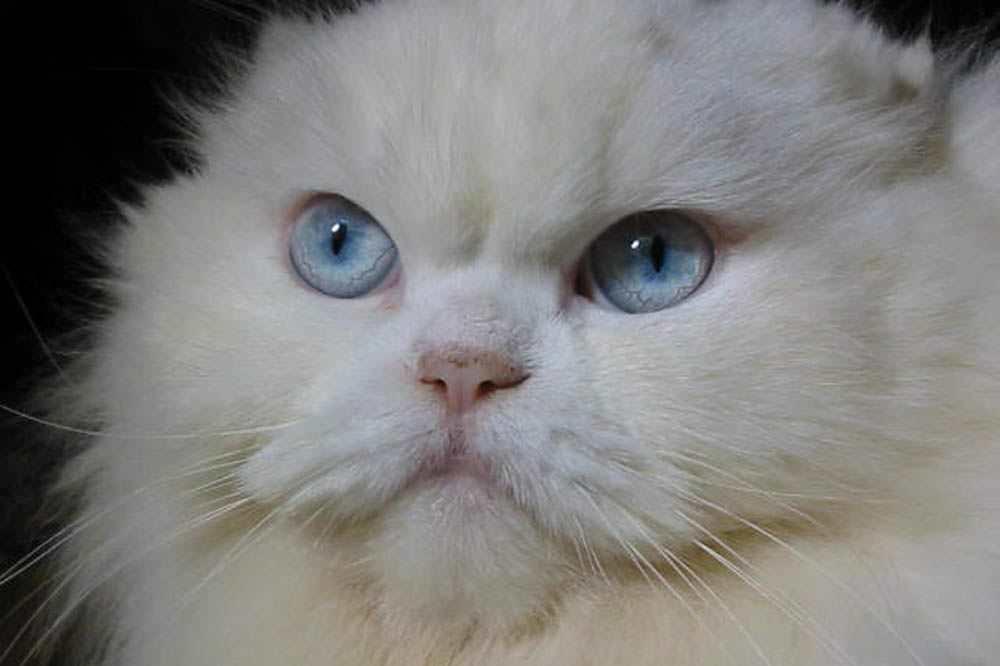 qq头像猫咪蓝眼