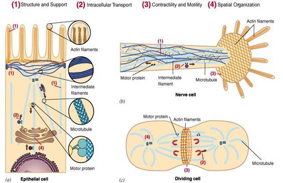 A管对着相邻的B管伸出两条动力蛋白臂,并向鞭毛中央发出一条辐。基体的微管组成为9+0,并且二联微管为三联微管所取代,结构类似于中心粒。组成的轴丝(axoneme)为主体。从各种组织中提纯微管蛋白可以发现还存在一些其他蛋白成分(5%-20%),称之谓微管相关蛋白(microtubeassociatedproteinsMAPs)。这些蛋白具有组织特异性,表现出从相同二聚体聚合形成的微管具有独特的性质,已从人类不同组织中发现了多种及微管蛋白,并追踪微管基因表现出部分基因家族,某些基因被认为是编码独特的微管