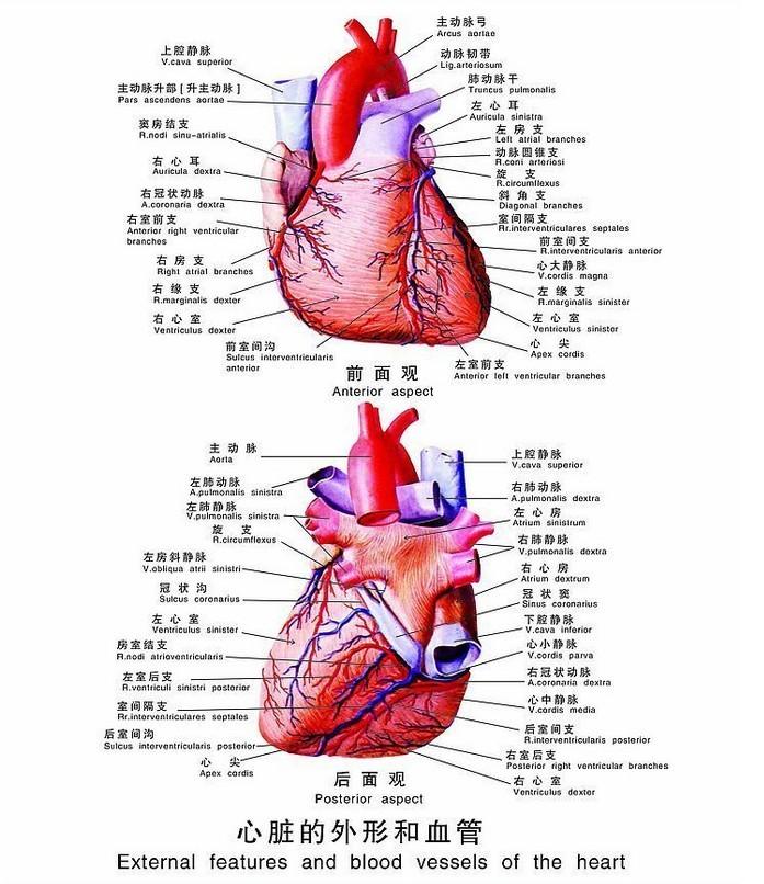 心脏血管前降支_心脏_360百科