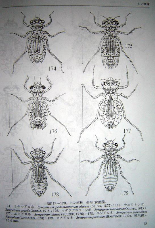 蜻蜓幼虫称水虿(水乞丐)蜻蜓的卵在刚孵时有一特殊的型态,六只脚、头部都跟身体缩在一起,像只没脚小虾米一    样,不怎麼活动,称这阶段为「前稚虫期」。 这一阶段非常的短少则三、五秒,多则两、三分钟,前稚虫的背部就会裂开,第一龄稚虫就蜕皮而出不久它会慢慢的将头及六只脚伸展开来自由活动,蜻蜓稚虫随著种类不同而各有不同的龄期,一般情况下,蜻蜓幼虫年龄越小,他的体色就越浅,从8~16个龄期都有,整个稚虫其所需时间依照不同种类及季节而有所不同,从一个月到三、四年都有,至目前为止所知台湾的蜻蜓稚虫都是水栖昆虫,尚无发