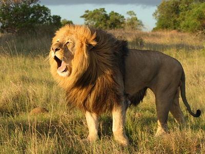 尽管狮子在奔跑的时速高达每小时六十多公里