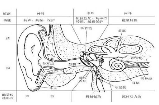 耳朵的基本结构