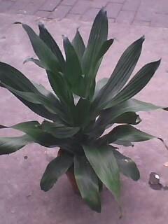巴西铁树图片