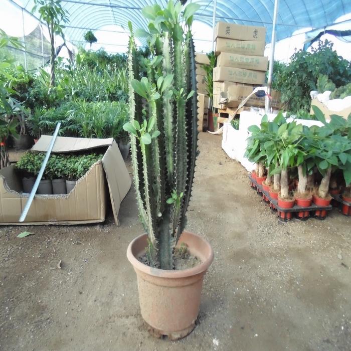 植物做砧可以和虎刺梅及蟹爪兰嫁接,奇花异木并且多姿 多彩,龙骨柱