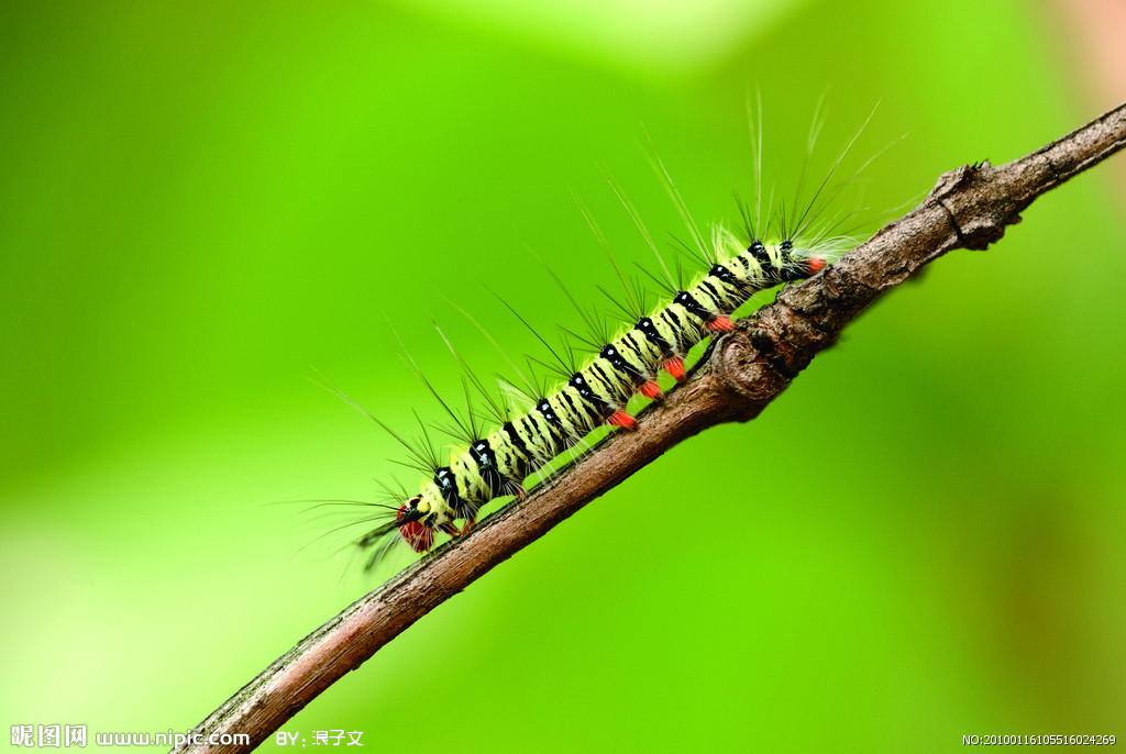 昆虫是节肢动物,它们有坚硬的起保护作用的外骨骼和